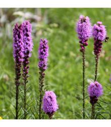 Liatra klasnatá purpurová - šuškarda - cibule liatry - Liatris spicata - cibuľky - 5 ks