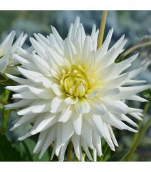 Dahlia White Star - kaktusovitá odroda - Dahlie - cibuľoviny - 1 ks