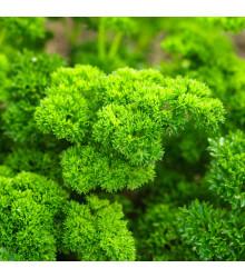 BIO Petržlen Grüne Perle - BIO semiačka - Petroselinum crispum- 1 g