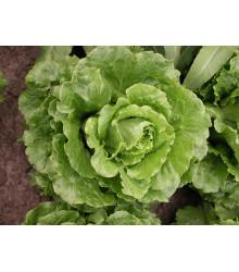 Šalát rímsky Galander- Lactusa sativa var. Romana Gars - predaj semien - 300 ks