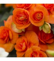 Drobnokvetá begónia oranžová - Begonia multiflora maxima - predaj jarných cibuľovín - 2 ks