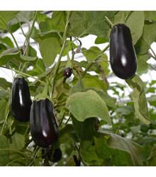 Baklažán vajcoplodý Black Beauty - semiačka - 60 ks