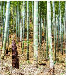 More about Bambus Balcooa - semiačka - 2 ks