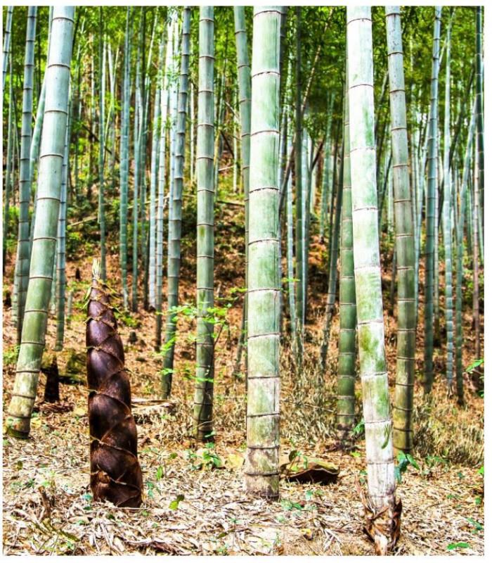 Bambus Balcooa - semiačka - 2 ks