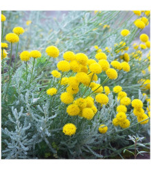 Santolina cypruštekovitá - Santolina chamaecyparissus - predaj semien santoliny - 5 ks