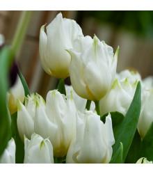 Tulipán Agrass White - Cibule Tulipánov - Jesenné Cibuľoviny - 3 Ks