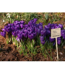 Krókus Remembrance - Crocus vernus - cibuľky - 3 ks