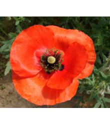 Poľné Kvety - Semená - 50 G