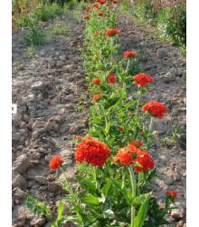 Červená Lúka - Semená Lúčnych Kvetín A Tráv - 50 G