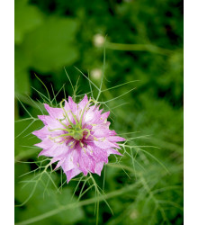 Černuška damašská ružová - Nigella damascena - semiačka - 200 ks