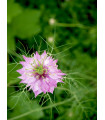 Černuška damašská ružová - Nigella damascena - semiačka - 0,5 gr