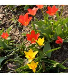 Zmes nízkych tulipánov - 24 ks
