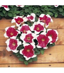 Petúnia Mnohokvetá - Red Frost F1 - Petunia Multiflora - Semená Petúnie - 20 Ks
