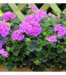 Muškát krúžkovaný Nekita F1 Pink - Pelargonium Zonale - Semená - 4 Ks