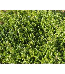 Hviezdica Prostredná - Semená Hviezdice - 0,5 G