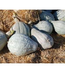 Tekvica Blue Hubbard - Cucurbita Maxima - Semená - 7 Ks