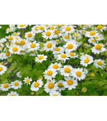Rimbaba žltá - Chrysanthemum parthenium aureum Golden Feverfew - semiačka - 0,2 gr