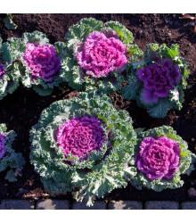 Okrasná Kapusta Nagoya F1 - Brassica Oleracea - Predaj Semien - 20 Ks