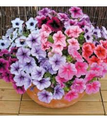 Petúnia Superbissima Zmes - Petunia Nana Compacta - Semená - 20 Ks