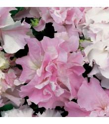 Petúnia Pirouette F1 - Orchid Mist - Petunia Grandiflora - Predaj Semien Petúnie - 20 Ks