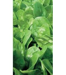BIO Špenát siaty - Spinacia oleracea L. - semiačka - 12 gr