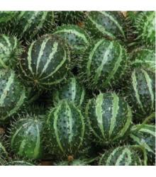 Uhorka angreštová - Cucumis myriocarpus - predaj semien - 6 ks