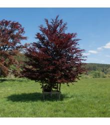 Semienka buku - Fagus sylvatica atropurpurea - Buk lesný - predaj semien - 7 ks