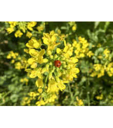 Horčica čierna - Brassica nigra - semiačka - 50 ks