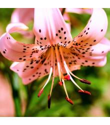 Ľalia Pink tiger - Lilium - cibuľoviny - 1 ks