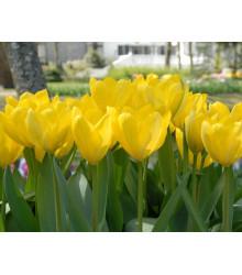 Tulipán Yellow Purissima - Tulipa - cibuľoviny - 3 ks