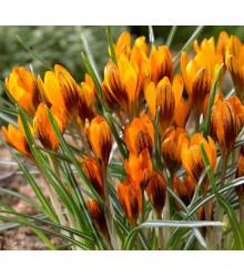 Krókus Orange Monarch - Crocus Chrysanthus - krókus veľkokvetý - cibuľoviny - 3 ks