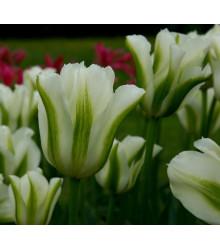 Tulipán Spring Green - Tulipa spring green - cibuľoviny - 3 ks