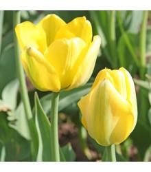 Tulipán Golden Apeldoorn - Tulipa - cibuľoviny - 3 ks