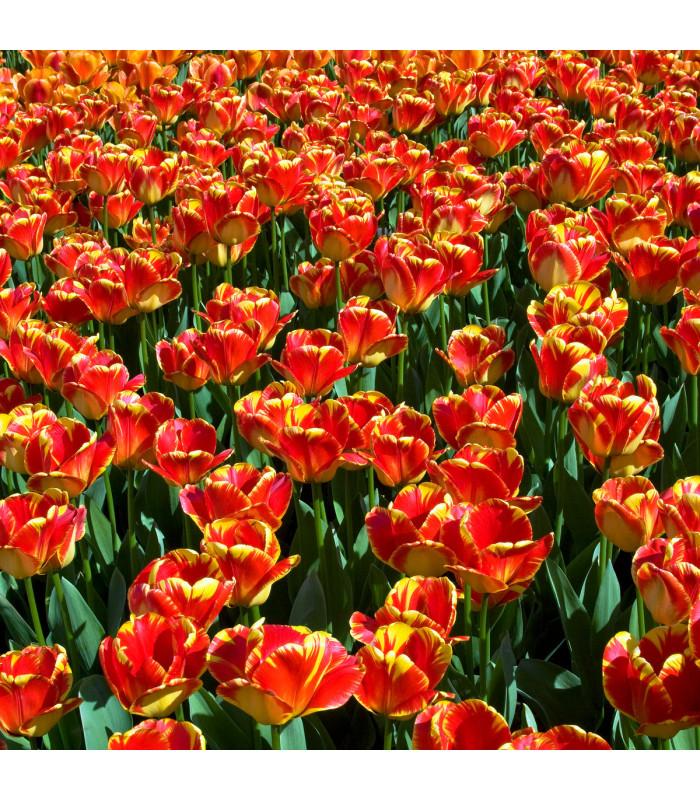 Tulipán Banja Luka - Tulipa - cibuľoviny - 3 ks