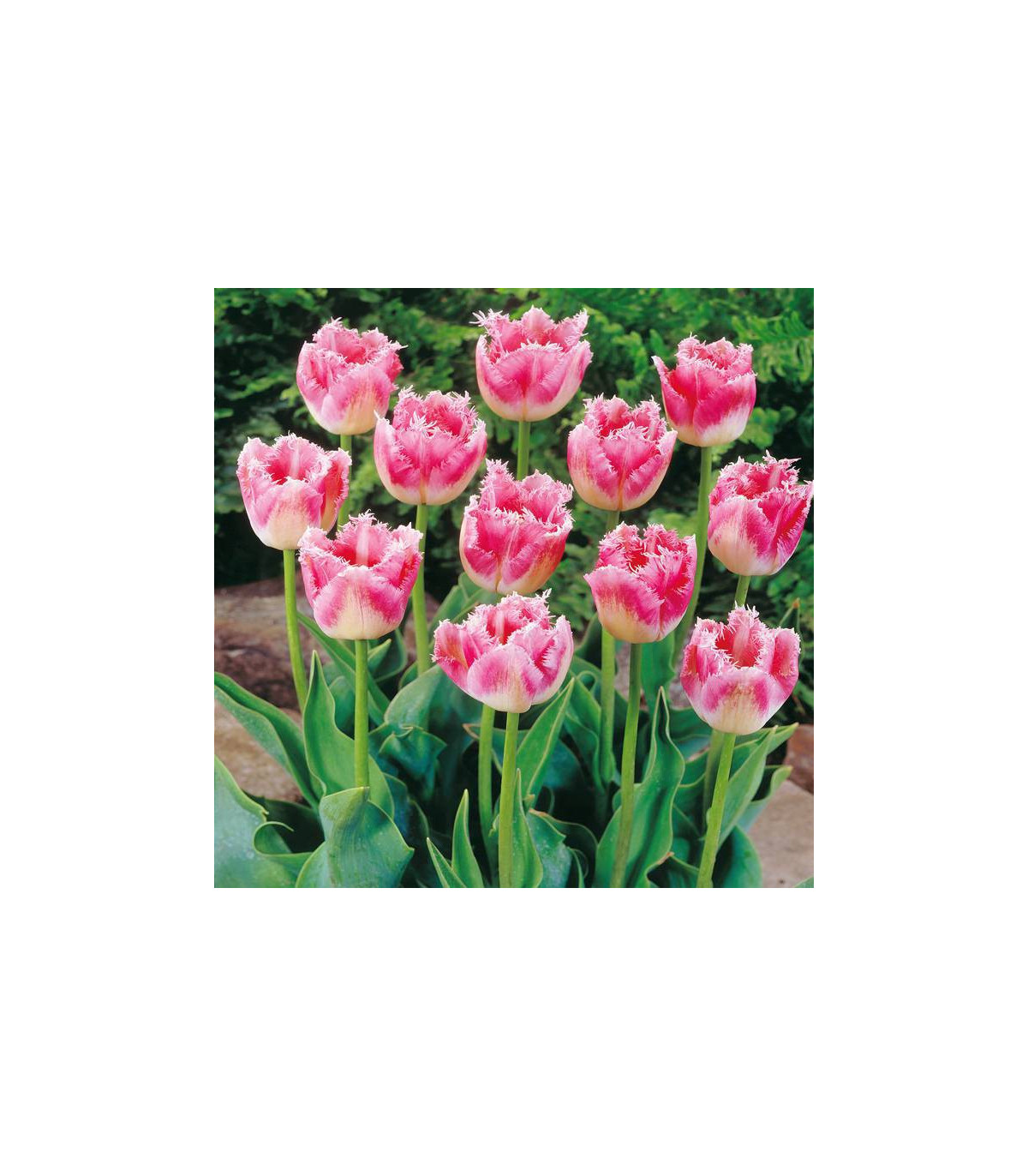 Tulipán Fancy Frills - Tulipa - predaj cibuľovín - 3 ks
