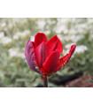 Tulipán Rococo - Tulipa - cibuľoviny - 3 ks