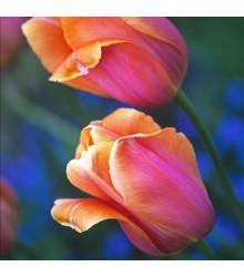 Tulipán Dordogne - Tulipa - cibuľoviny - 3 ks