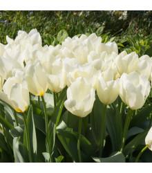 Tulipán White Purissima - Tulipa - cibuľoviny - 3 ks