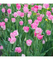 Tulipán Dynasty - Tulipa dynasty - cibuľoviny - 3 ks