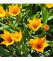 Tulipán viackvetý Praestans Shogun - Tulipa - cibuľoviny - 3 ks
