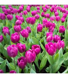 Tulipán Purple Flag - Tulipa purple flag - cibuľoviny - 3 ks