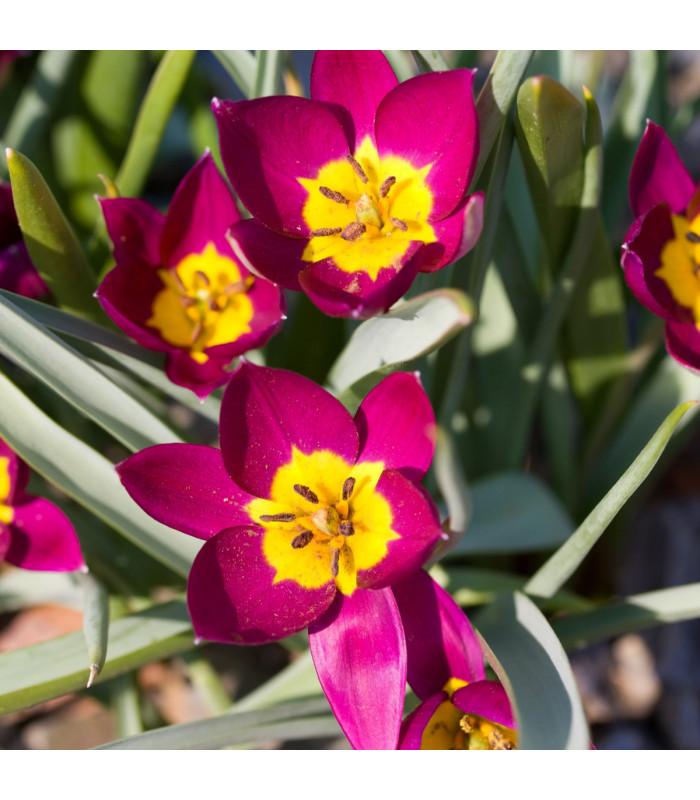 Tulipán Eastern Star - Tulipa - cibuľoviny - 3 ks