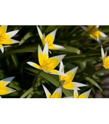 Neskorý tulipán Tarda - Tulipa tarda - cibuľoviny - 3 ks