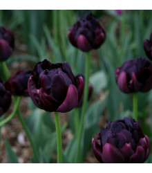 Tulipán Black Hero - Tulipa black hero - cibuľoviny - 3 ks