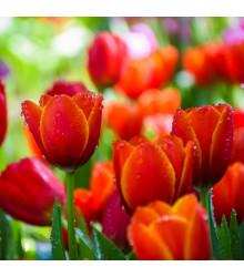 Tulipán Apeldoorn - Tulipa apeldoorn - cibuľoviny - 3 ks