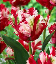 Tulipán Estella Rijnveld - Tulipa - cibuľoviny - 3 ks