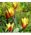 Tulipán Cynthia - Tulipa clusiana cynthia - cibuľoviny - 3 ks