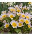 Tulipán Bakerii Lilac Wonder - Tulipa saxatilis - cibuľoviny - 3 ks