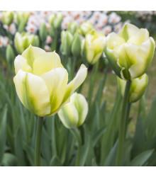 Tulipán Exotic emperor - Tulipa - cibuľoviny - 3 ks