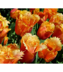 Tulipán Lambada - holandské tulipány - predaj cibuliek - 3 ks